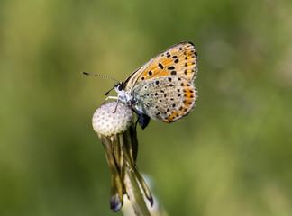 lycaena tytirus