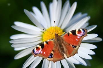 Schmetterling, Blüte, Makro