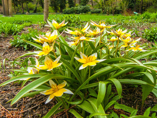 The tulip is late. Bulb perennial. One of the most popular species for landscape gardening and rock gardens.