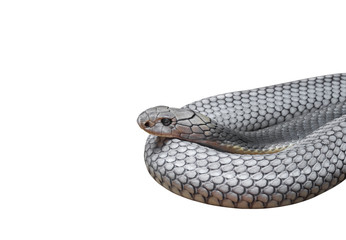King Cobra Coiled Isolated on White Background, Clipping Path