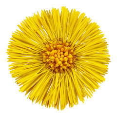 Flower  yellow  Tussilago farfara (mother and stepmother)  isolated on white background. Flower bud close up.  Element of design.