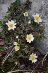 Cerca immagini fiori di montagna for Elleboro bianco