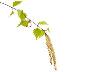 branch of birch with earrings isolated