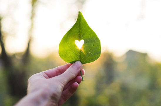 Green leaf with cut heart in a hand
