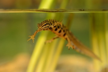 Smooth newt - Triturus vulgaris