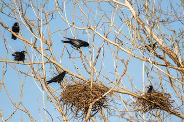 Corvus frugilegus. Grajas con nidos.