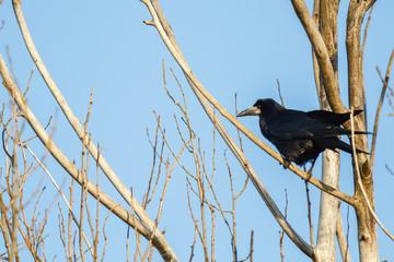 Graja. Corvus frugilegus.