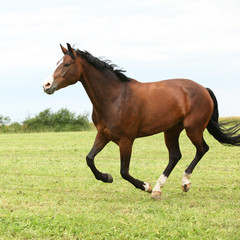 Fototapete - Beautiful brown horse running in freedom