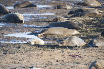 Donna Nook, Lincolnshire, UK – Nov 16: Grey seals come ashore for birthing season lie in the shallows on 16 Nov 2016 at Donna Nook Seal Sanctuary, Lincolnshire Wildlife Trust