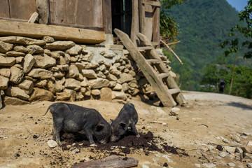 Two cute piglets in Sapa, Vietnam.