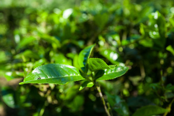 Close-up of green tea plant in Sapa, Vietnam.