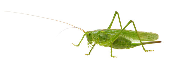 Green locust on white