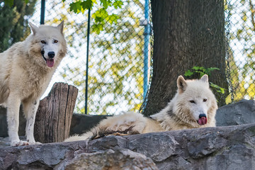 Arctic Wolf in captivity