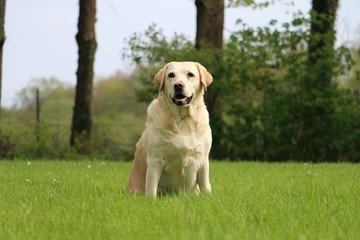 beautiful labrador is sitting in the garden
