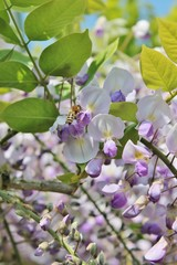 wisteria flowers and wasp insect collecting pollen