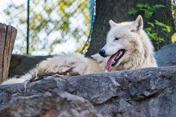 Arctic Wolf in captivity
