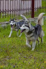 Couple of husky dogs playing on seaside