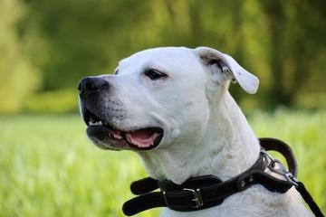 Dogo Argentino (argentinische Dogge)