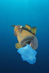 Pollution. Plastic pollution problem - fish eat plastic so seafood is contaminated with toxins