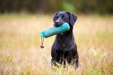 Black Labrador Retriever with dummy