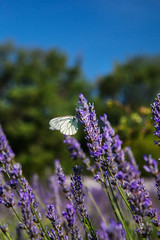 butterfly sitting on a lavender