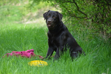 Chocolate labrador sitting on the green grass in the forest.