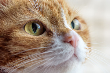 portrait of a red cat macro