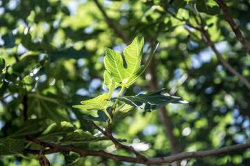 Fig leafs, Adriatic coast