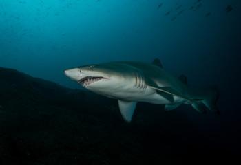 Grey Nurse/Sand Tiger/Ragged Tooth Shark