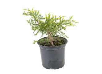 tree thuya in for planting on a white background