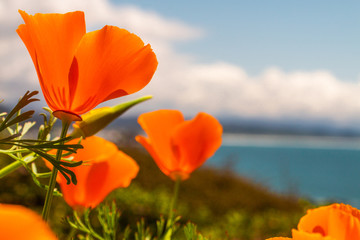 California Coastal Poppies