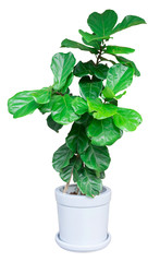 green large leaf tree a potted plant isolated over white for Exterior interior decoration