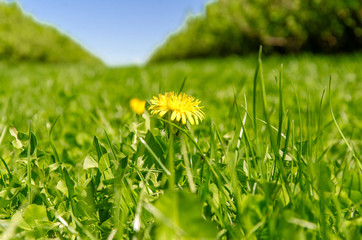 Yellow dandelion flower in green grass
