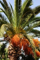 palmier dattier au maroc