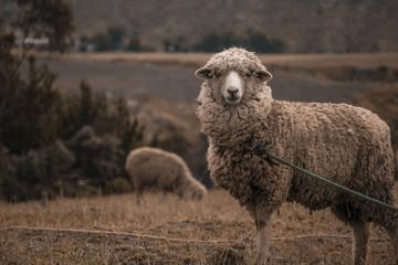 ovis aries - sheep in ecuador