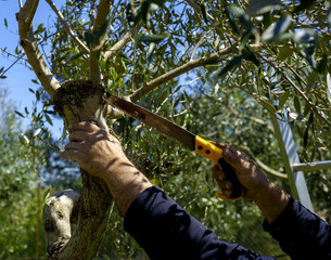 Pruning an olive tree with pruning hand saws