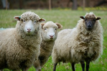 Various breeds of sheep in a field