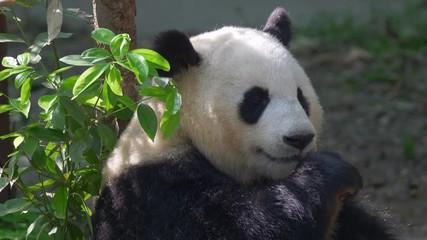 Wall Mural - Giant panda bear eating bamboo. High quality shot in 4K