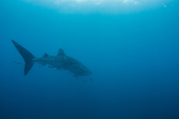 Whale Shark very near looking at you underwater in Gulf of Thailand. it does not attack humans