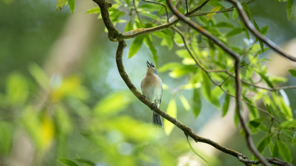 Singing Finch On A Branch