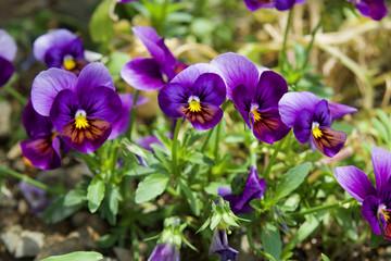 Papiers peints Pansies 紫のビオラ