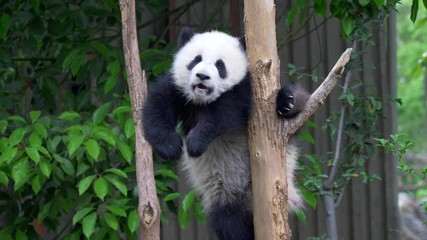 Wall Mural - Cub of Giant panda bear playing on tree. UHD, 4K