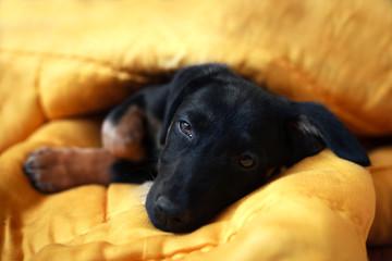 The cute little black pet dogs sleep