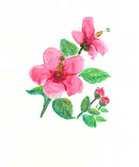 Drawing with watercolor paint: a plant of hibiscus with red flowers and buds.