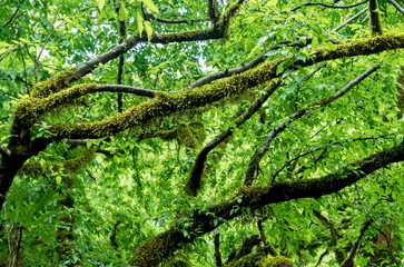 The moss-covered branches of trees after the rain in the forest. High humidity. Nature background