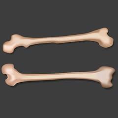 Illustration of two bones.