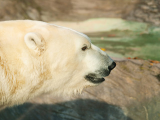 Head of polar bear - Ursus maritimus