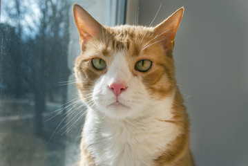 Very Serious Red Cat looking at you sitting on windowsill.