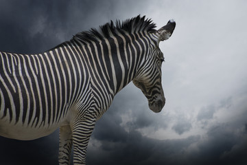 An African Zebra in a close up view