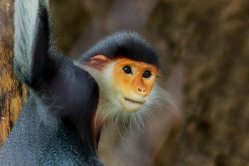 Portrait of the red-shanked douc langur